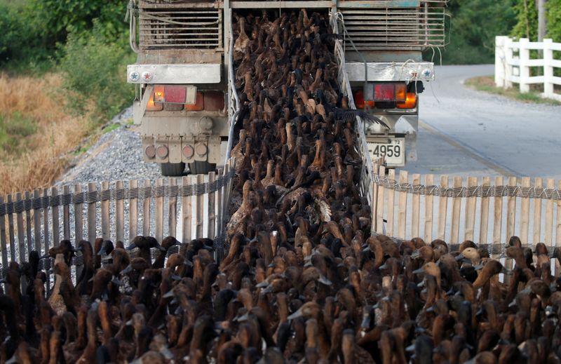 Unleash the ducks! Thai drought worries threaten farming tradition | Reuters