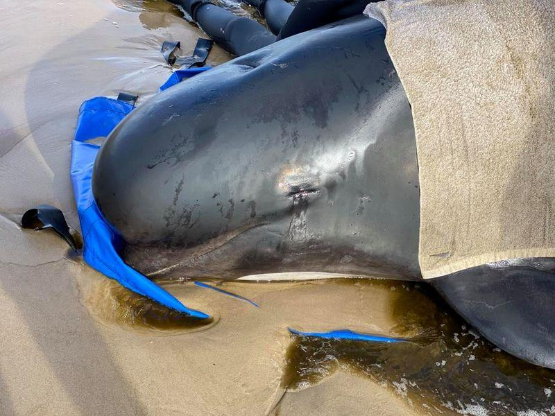 Australia plans disposal of hundreds of stranded whale carcasses - Reuters