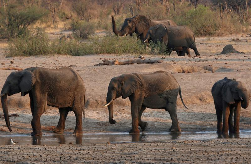 Zimbabwe suspects bacterial disease behind elephant deaths