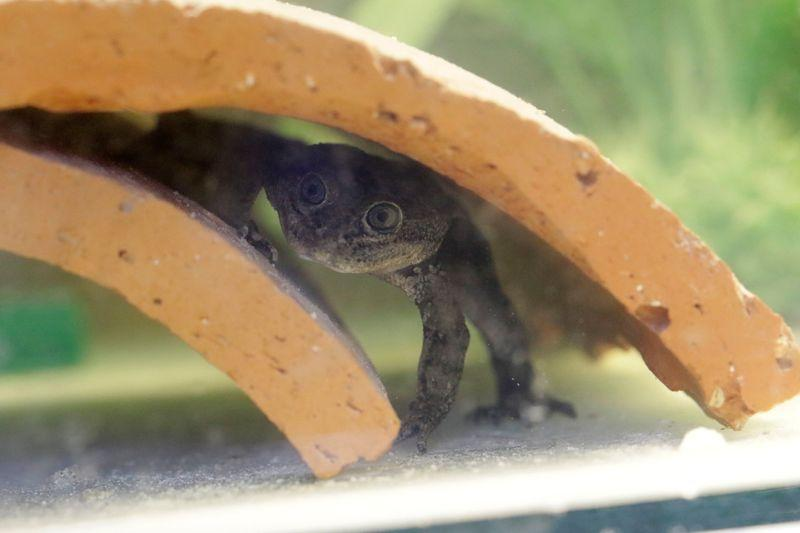 Chile Celebrates Breeding of Endangered Loa Water Frogs