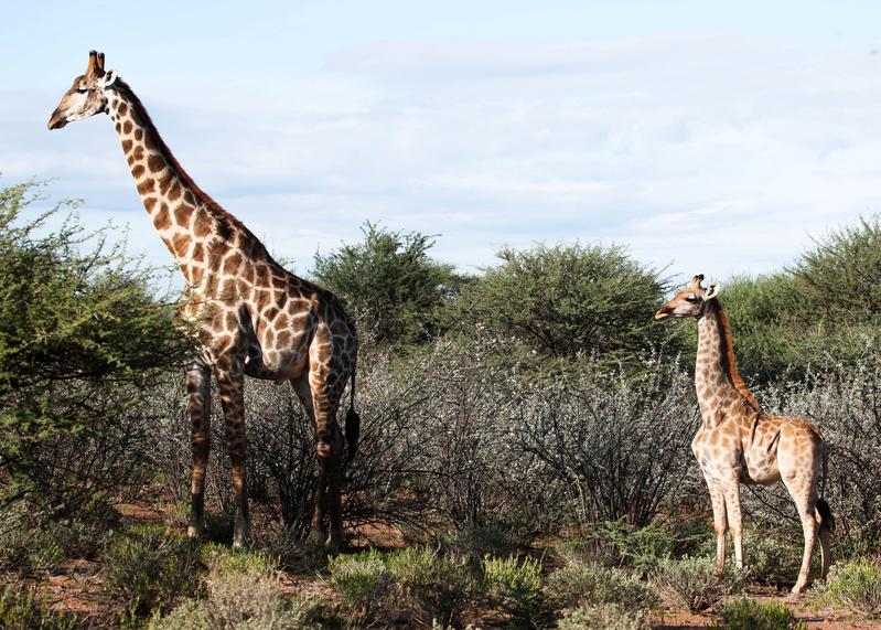 Scientists surprised to discover two dwarf giraffes in Namibia and Uganda