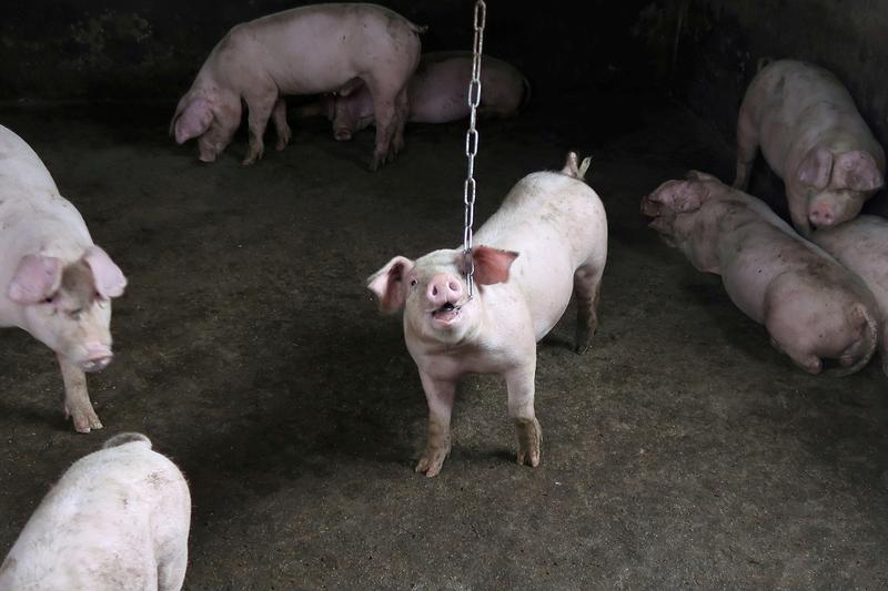 New China swine fever strains point to unlicensed vaccines - Reuters