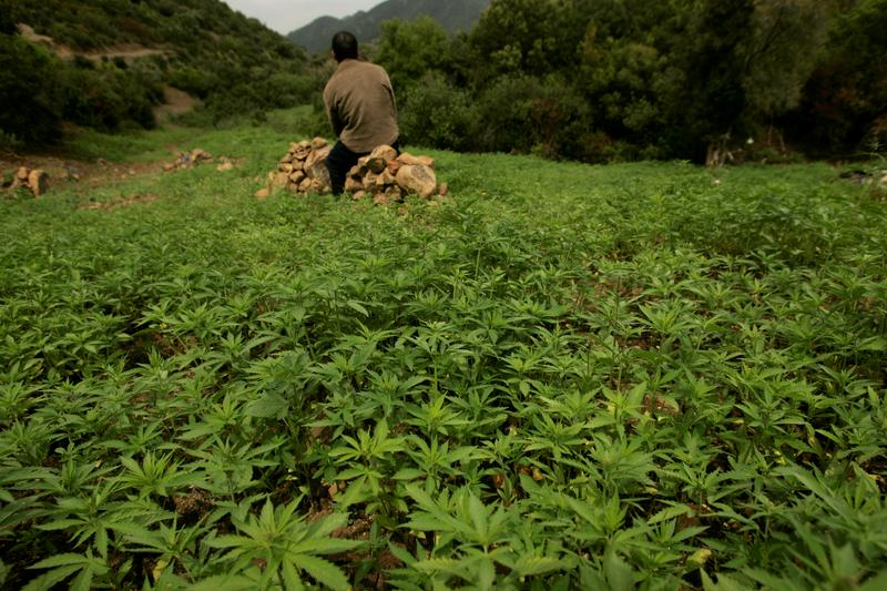 post-image-Morocco set to legalise cannabis production for medical use