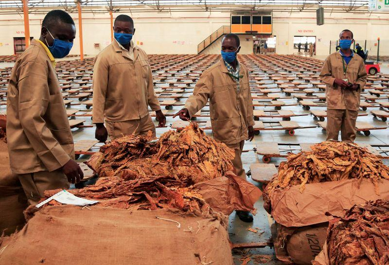 Zimbabwe tobacco sales to rise to 200 million kg, farmers to keep more dollars